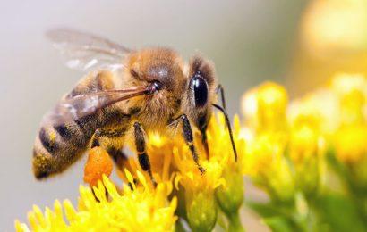 Nizozemští vědci vycvičili včely k detekci infekce Covid-19